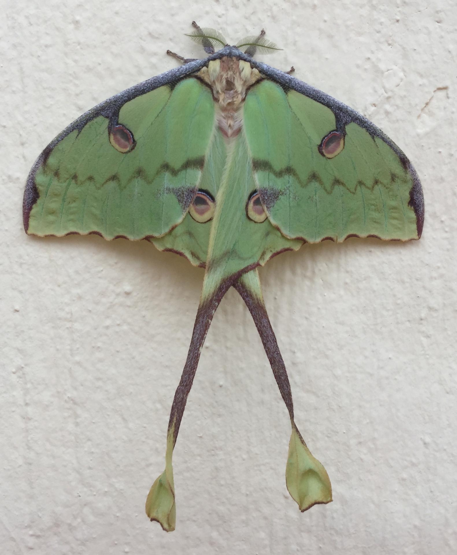Macinga Green