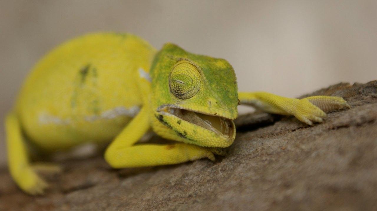 asD Chameleon
